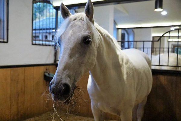 La race du cheval Lipizzan